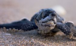 Baby Leatherback turtle just hatched and heading to the w... by Todd Mintz 